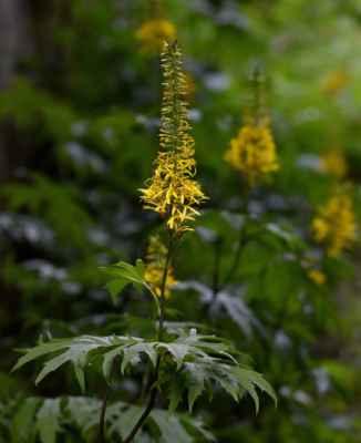 Popelivka Przewalského (Ligularia przewalskii)