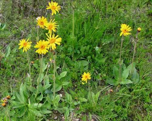 Prha arnika (Arnica montana) - C3, §3