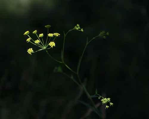 Prorostlík srpovitý (Bupleurum falcatum)