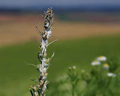 Protěž norská (Gnaphalium norvegicum) - C3