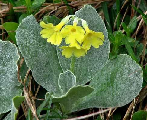 Prvosenka lysá (Primula auricula) - C1r