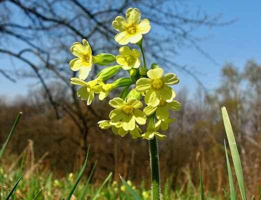 Prvosenka vyšší (Primula elatior)