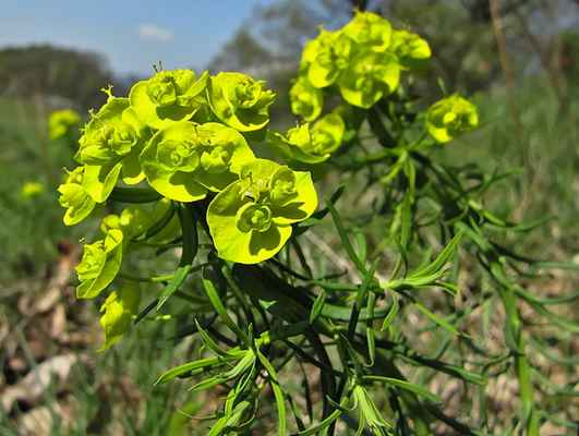 Pryšec chvojka (Euphorbia cyparissias)