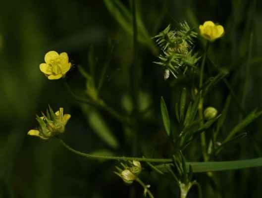 Pryskyřník rolní (Ranunculus arvensis) - C2t
