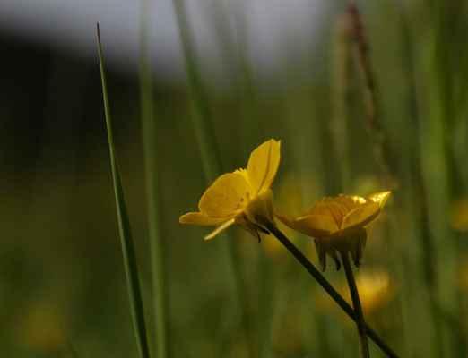 Pryskyřník hlíznatý (Ranunculus bulbosus)