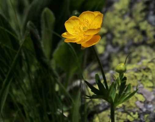 Pryskyřník horský (Ranunculus montanus)