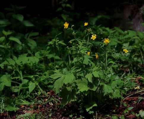 Pryskyřník kosmatý (Ranunculus lanuginosus)
