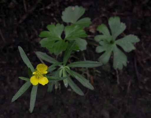 Pryskyřník mnohotvárný (Ranunculus fallax) - C4b