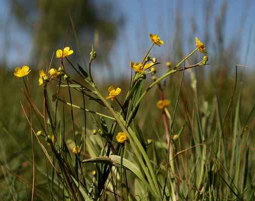Pryskyřník plamének (Ranunculus flammula)