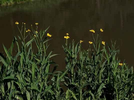 Pryskyřník velký (Ranunculus lingua) - C2, §2
