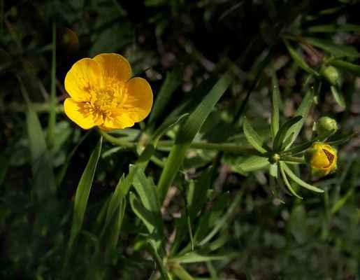 Pryskyřník zlatožlutý (Ranunculus auricomus) - C4b