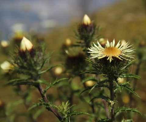 Pupava obecná (Carlina vulgaris)