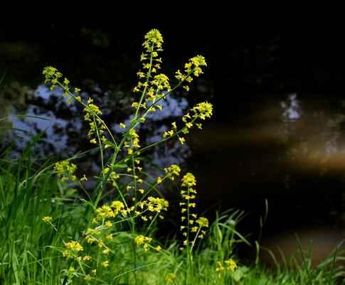 Rukev obojživelná (Rorippa amphibia)