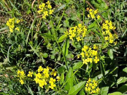 Rukev uherská, kříženec mezi obojživelnou a rakouskou (Rorippa × hungarica - R. amphibia × R. austriaca)