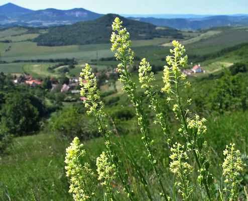 Rýt žlutý (Reseda lutea)