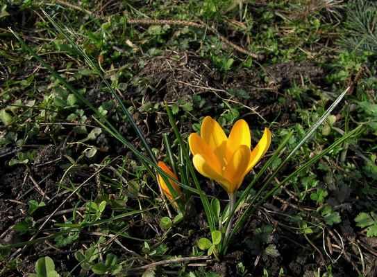 Šafrán žlutý (Crocus flavus)