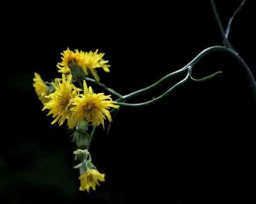 Škarda vláskovitá (Crepis capillaris)