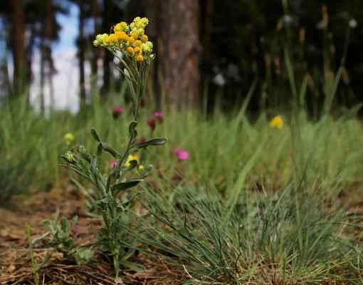 Smil písečný (Helichrysum arenarium) - C2b, §2