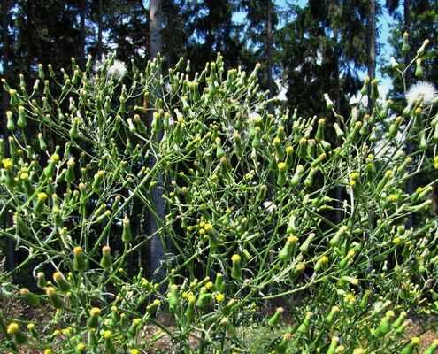 Starček lesní (Senecio sylvaticus)