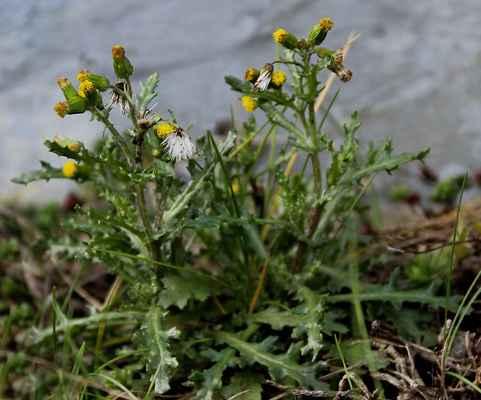 Starček obecný (Senecio vulgaris)