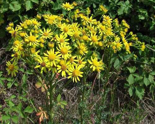 Starček přímětník (Senecio jacobaea)