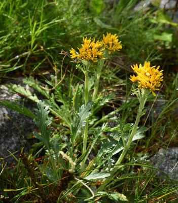 Starček šedý kraňský (Senecio incanus subsp. carniolicus)