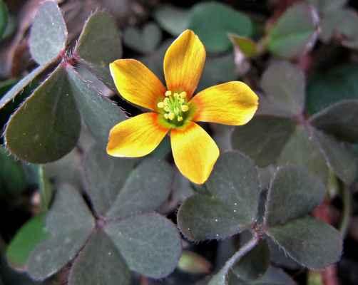 Šťavel růžkatý (Oxalis corniculata)