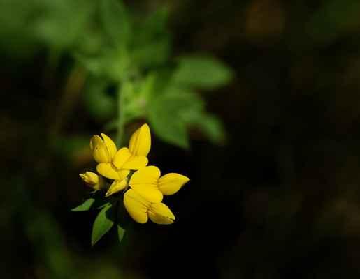 Štírovník bažinný (Lotus pedunculatus)