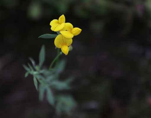 Štírovník tenkolistý (Lotus tenuis) - C3