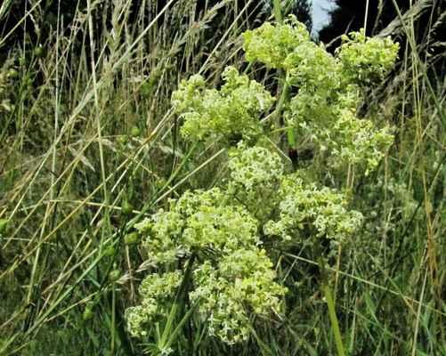 Svízel pomořanský, kříženec mezi bílým a syřišťovým (Galium pomeranicum, G. album × G. verum)