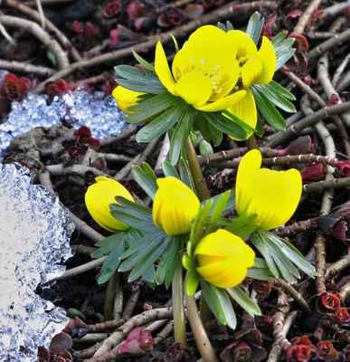 Talovín zimní (Eranthis hyemalis)