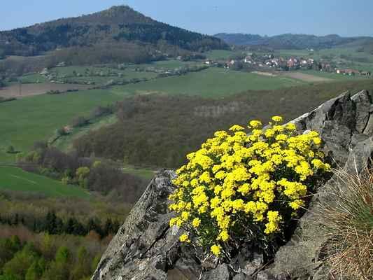 Tařice skalní Arduinova (Aurinia saxatilis subsp. arduini) - C4a, §3