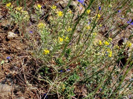 Tařinka horská Gmelinova (Alyssum montanum subsp. gmelinii) - C3