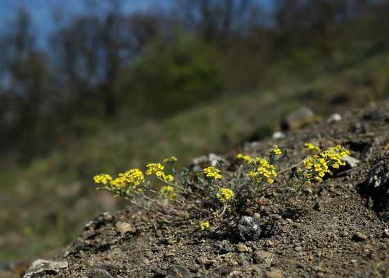 Tařinka horská pravá (Alyssum montanum subsp. montana) - C4