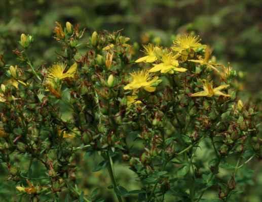 Třezalka skvrnitá (Hypericum maculatum)