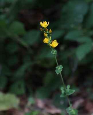 Třezalka pěkná (Hypericum pulchrum) - C1r