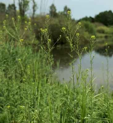 Úhorník mnohodílný (Descurainia sophia)