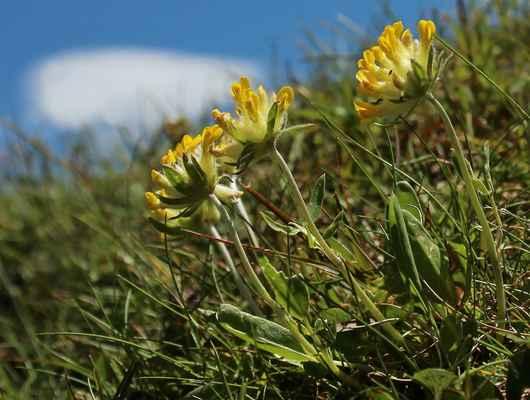 Úročník bolhoj karpatský (Anthyllis vulneraria subsp. carpatica )