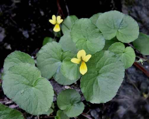 Violka dvoukvětá (Viola biflora) - C4a