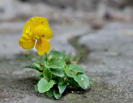 Violka zahradní (Viola × wittrockiana)