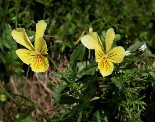Violka žlutá sudetská (Viola lutea subsp. sudetica) - C2, §2