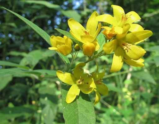 Vrbina obecná (Lysimachia vulgaris)