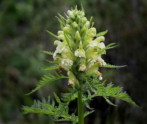 Všivec Hacquetův (Pedicularis hacquetii) - u nás neroste (SR)
