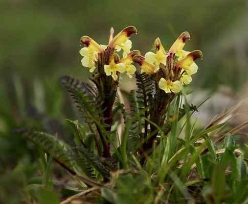 Všivec Oederův (Pedicularis oederi) - u nás nepůvodní (SR)