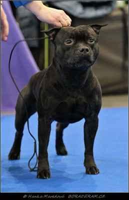 Glimmer Man Domidar Dogs (Breno Domidar Dogs X Maya Stawka Wieksza niz Zycie) - Psi - třída čestná - V2