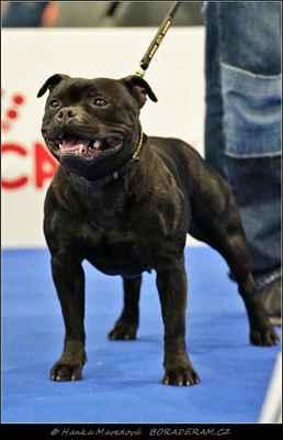 Kasia z Hambalek Bušín (Glimmer Man Domidar Dogs X Geddy z Hambalek Bušín) - Feny - třída otevřená - V