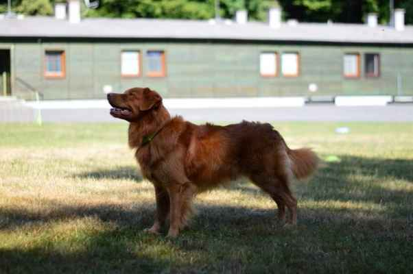 NSDTR pes - NSDTR pes 3 místo 541 bodů Heavenly Ranger z Dejzyna Dvora