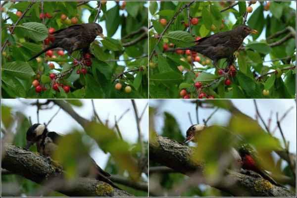 Začaly zrát třešně. Že na ně chodí kos a strakapoud jsme si všimli, ...