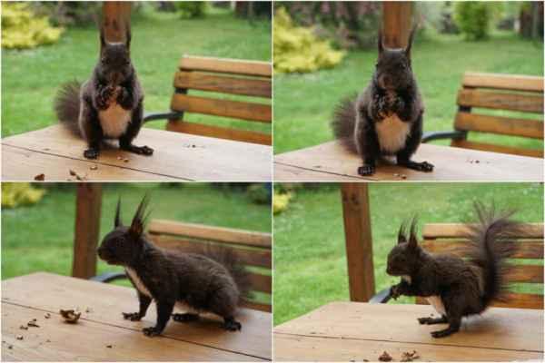 Už to ani nedokumentujeme. Veverka se rychle ochočila, ochotně žere z ruky, ze které pak vylíže drobečky a nechá se šimrat na bříšku. Pro oříšek udělá všechno - skočí si pro něj na klín, nebo na záda - a to za pouhé dva dny .... naštěstí nám docházejí ořechy :-)