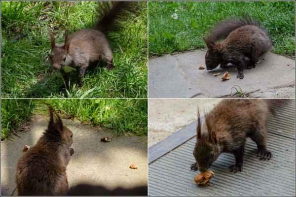 Půlky ořechů jsme jí tentokrát přichystali hned u verandy - to pro ni ale nebyla žádná překážka.